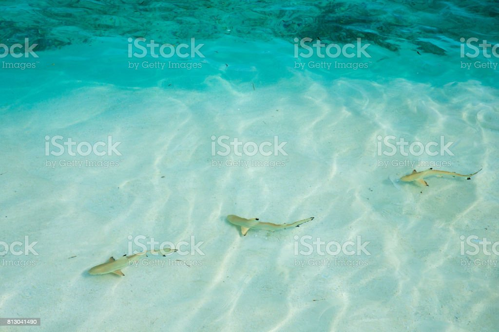 reef shark swimming in crystal clear shallow water, Maldives stock photo