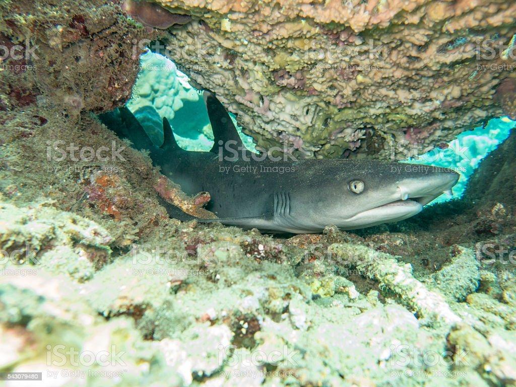 Reef Shark (Triaenodon Obesus) Underwater stock photo