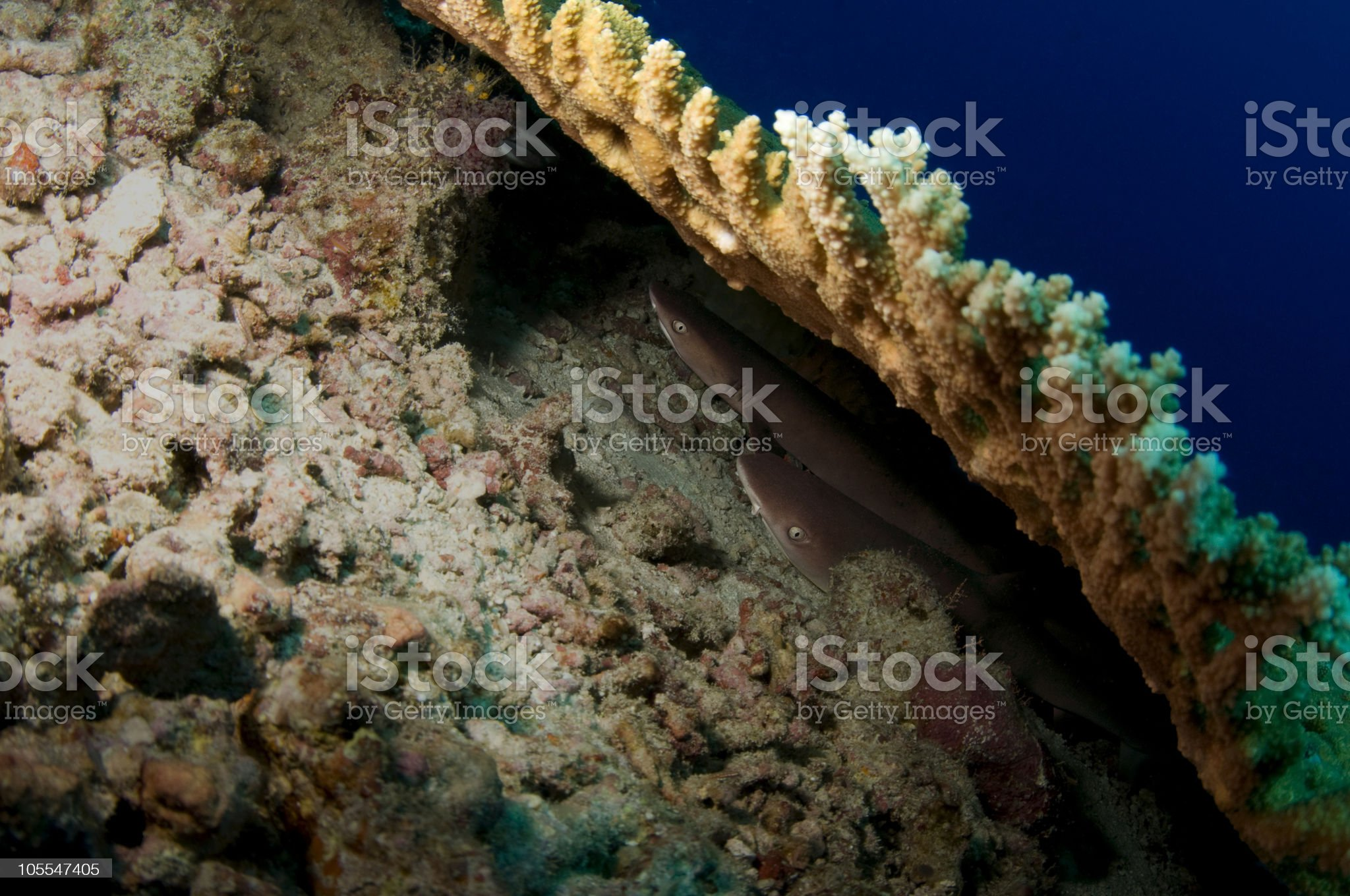 Reef Sharks At Rest royalty-free stock photo