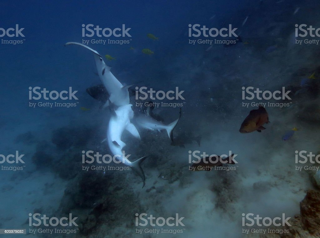 reef sharks feeding stock photo
