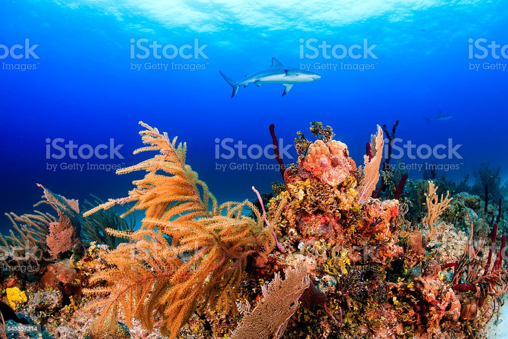 Reef Sharks on a Colorful Reef stock photo