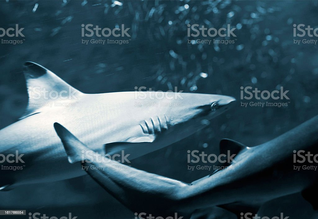 Reef sharks royalty-free stock photo