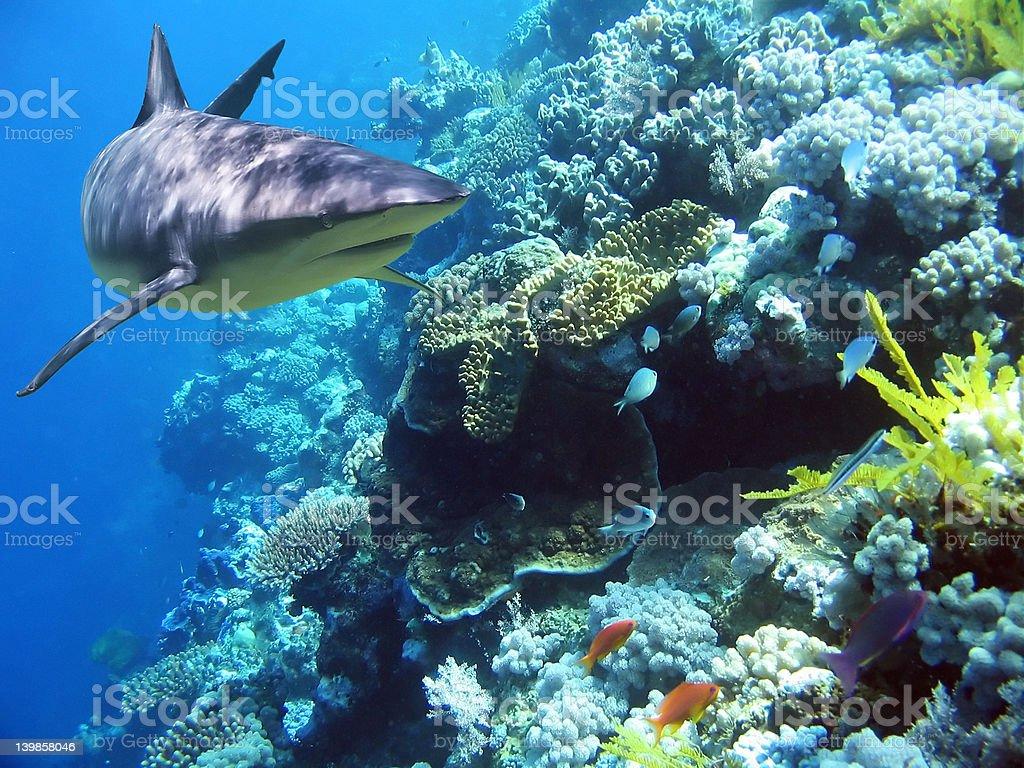 ReefShark stock photo