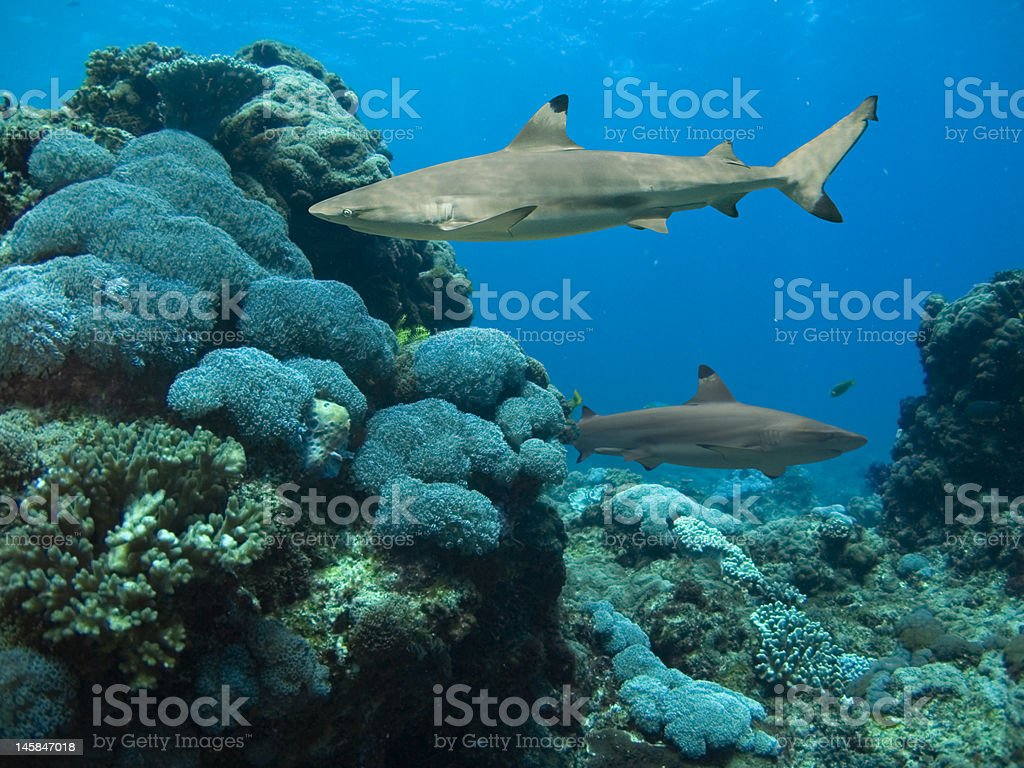 reefsharks royalty-free stock photo