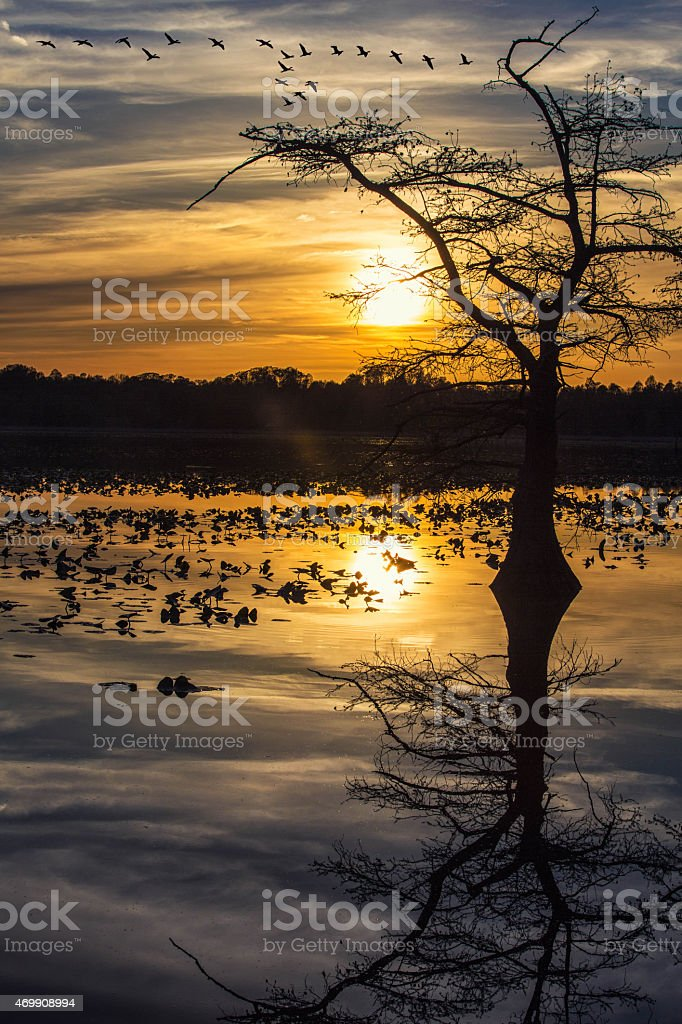 Reelfoot Lake Sunset with Geese Flying stock photo