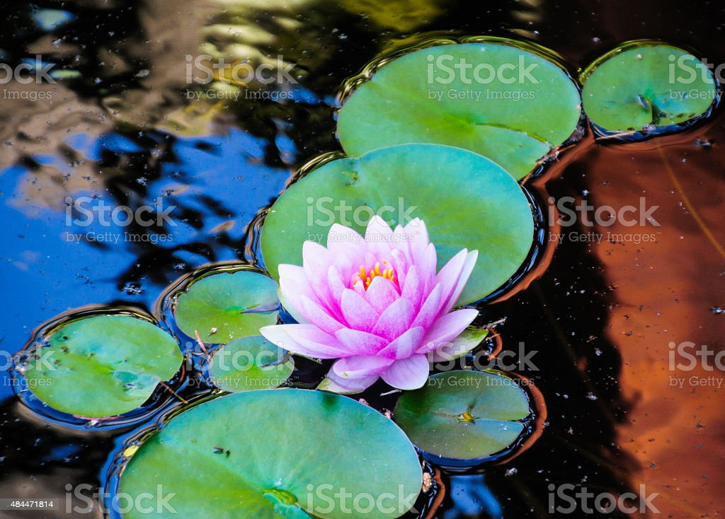 Reflecting Pool Lily stock photo