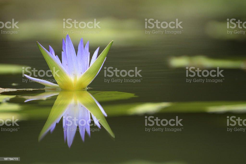 Reflecting Purple Lotus flower royalty-free stock photo