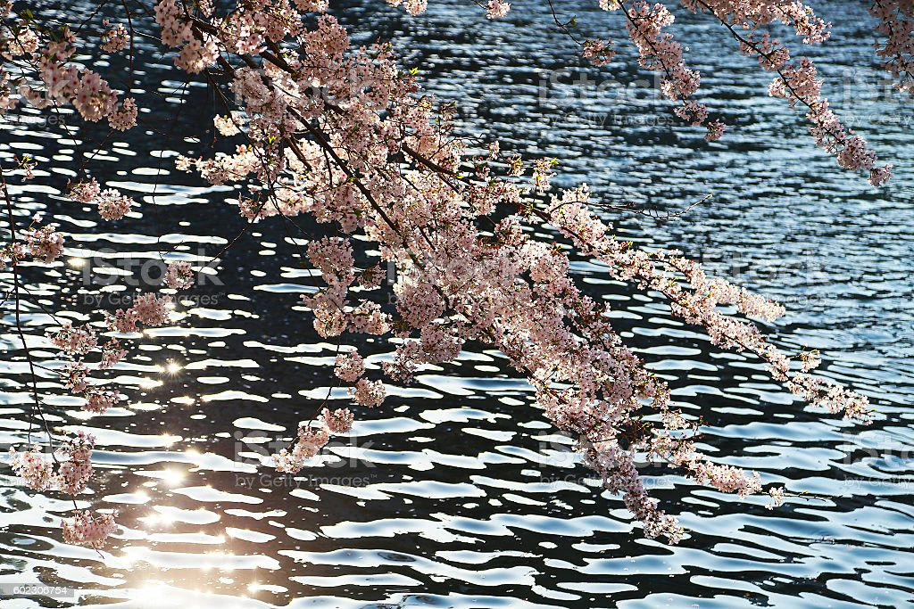 reflection and cherry tree of the light foto de stock libre de derechos