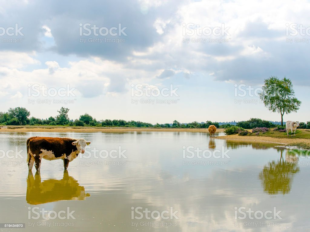 Reflection of a Cow II stock photo