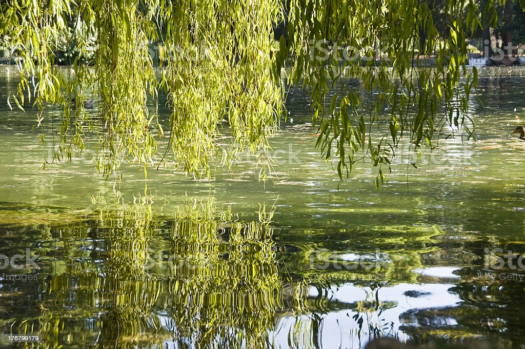 Reflection of a weeping willow stock photo