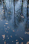 reflection of autumn bare trees reflected upside down