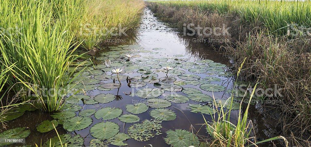 Reflection of lotus royalty-free stock photo