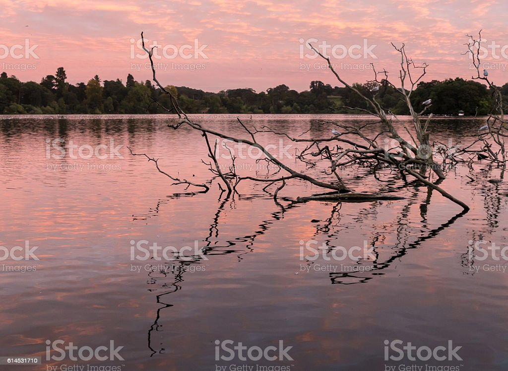 Reflection of old tree on mere at Ellesmere Shropshire stock photo