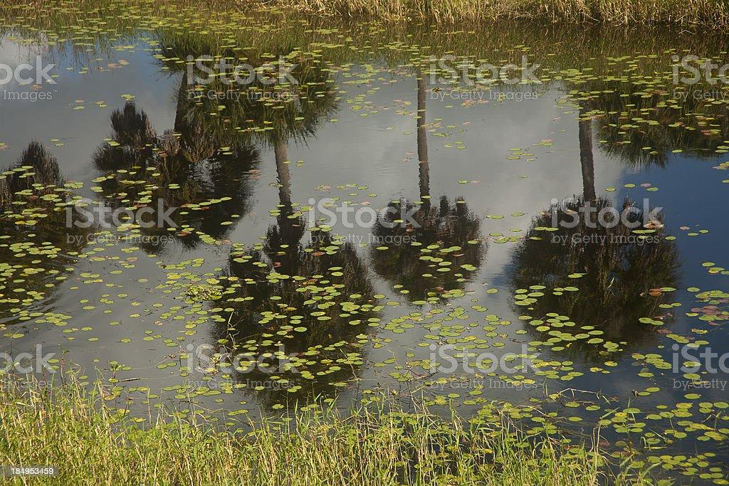 Reflection of Palm Trees at Myakka State Park. stock photo