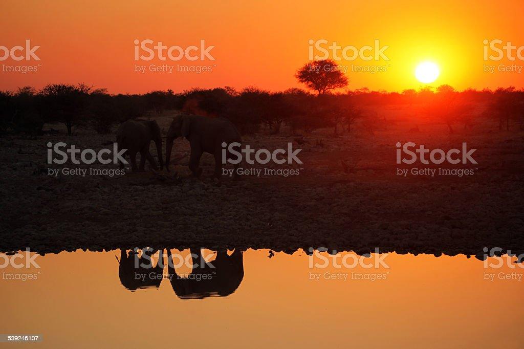 Reflections of African Elephants at Sunset in Etosha Namibia stock photo
