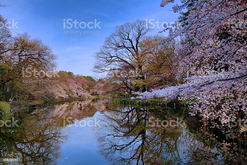 Reflections of Cherry blossom on the pond stock photo