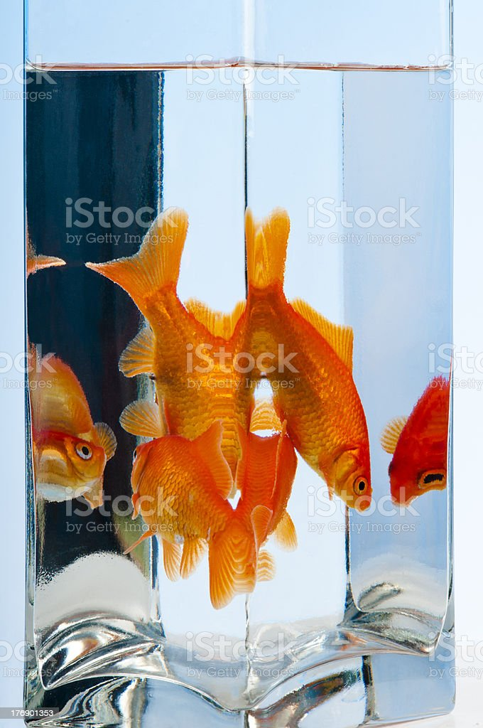 Reflections of goldfish in glass container. stock photo