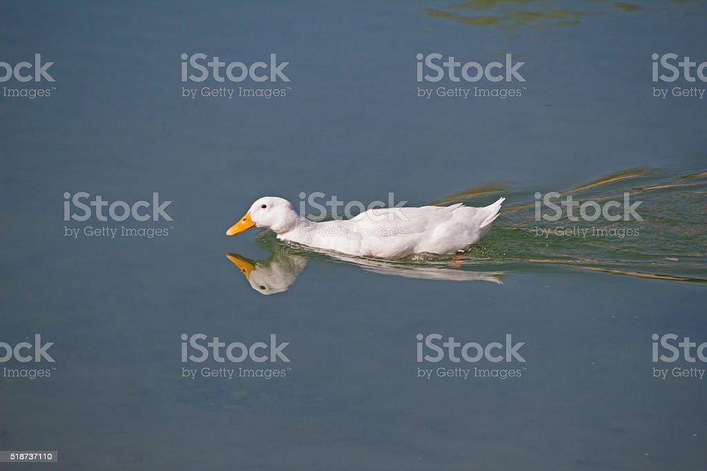 Reflective Duck stock photo