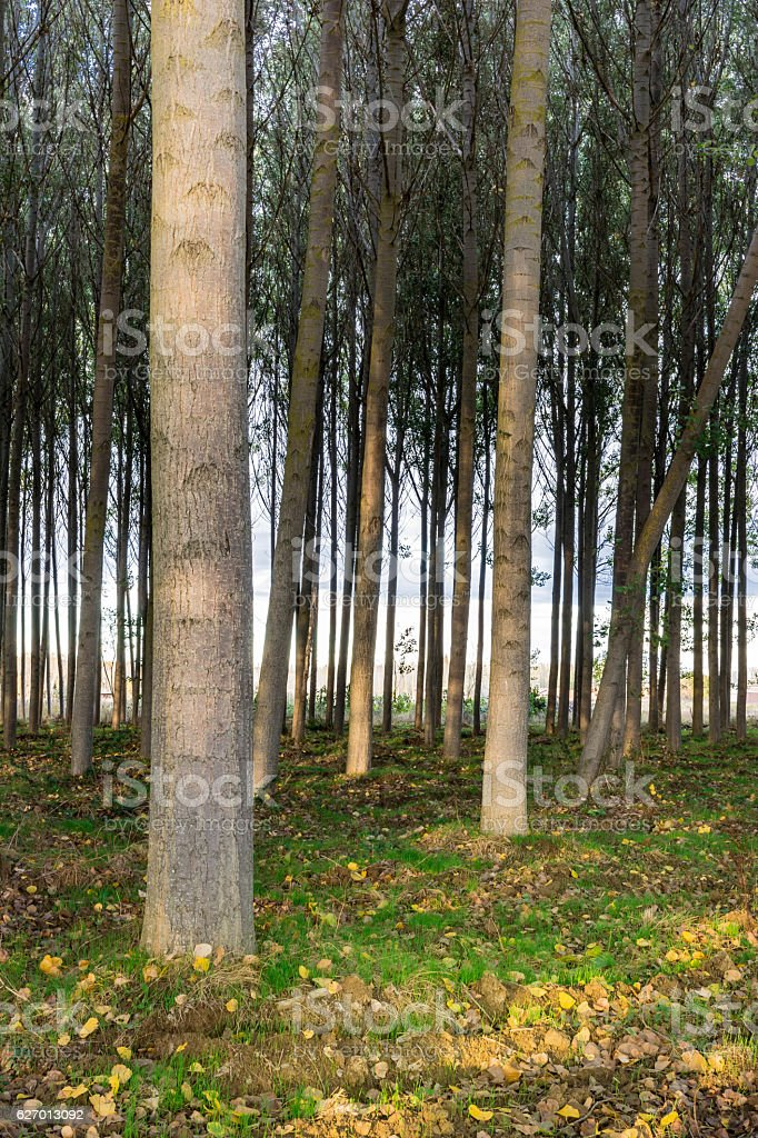 Reforestation of poplars in the province of Zamora in Spain stock photo
