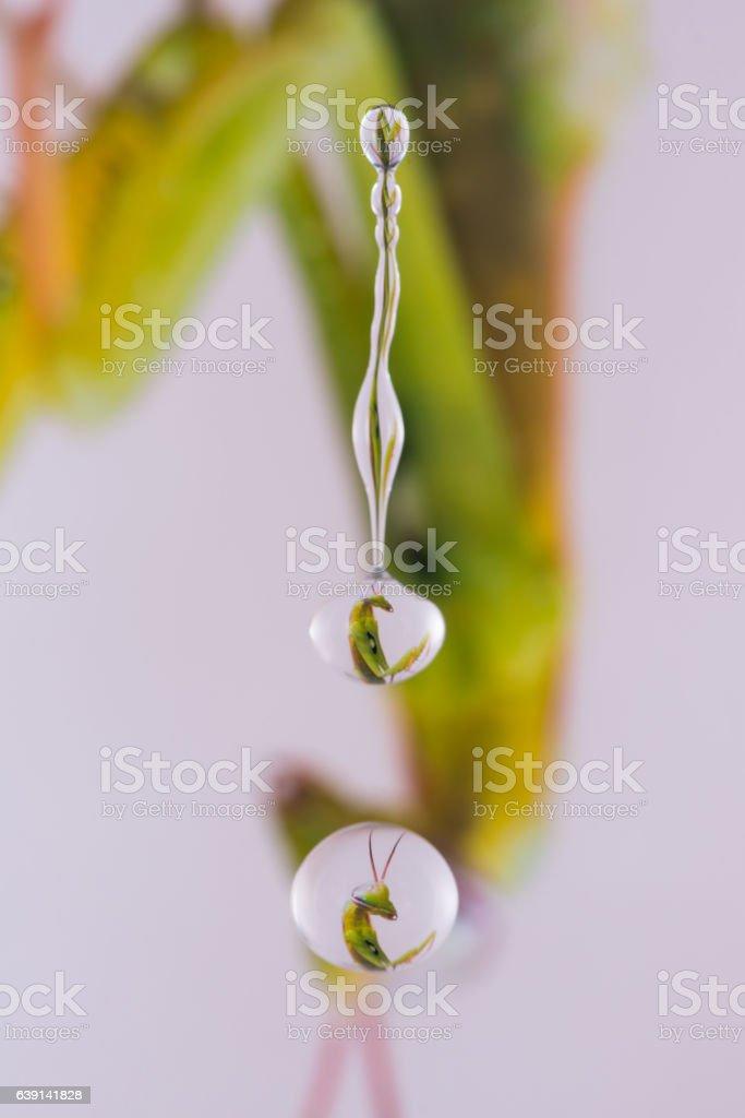 refraction mantis stock photo