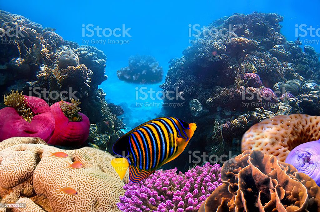 Regal angelfish stock photo