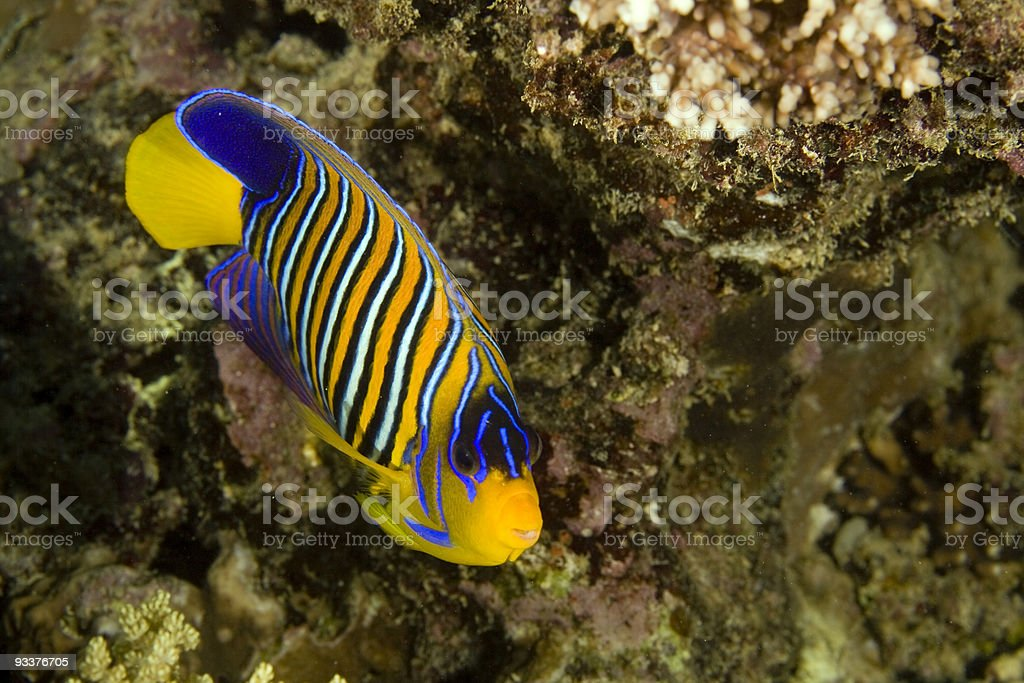 regal angelfish (pygoplites diacanthus) stock photo