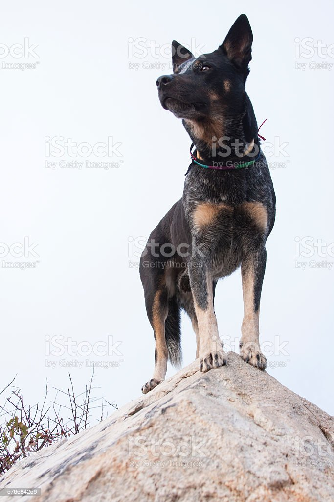 Regal Blue Heeler stock photo