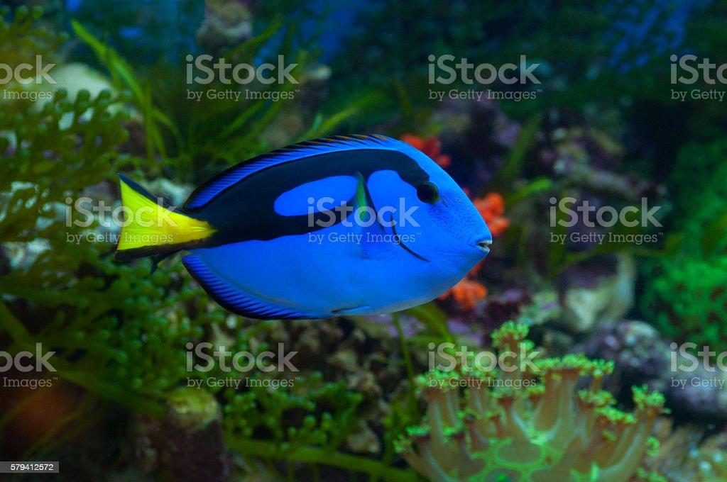 Regal blue tang stock photo