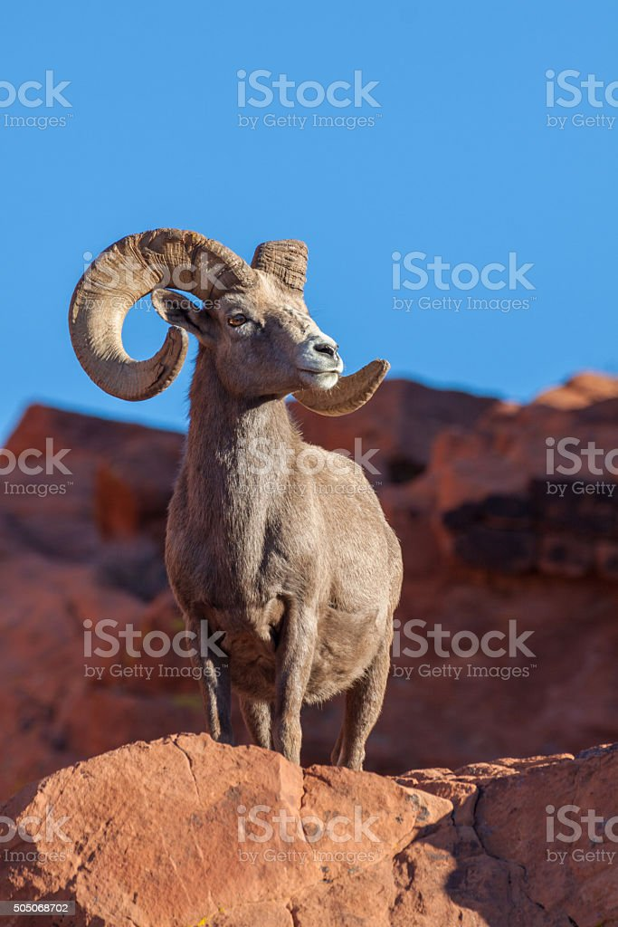 Regal Desert Bighorn Ram stock photo