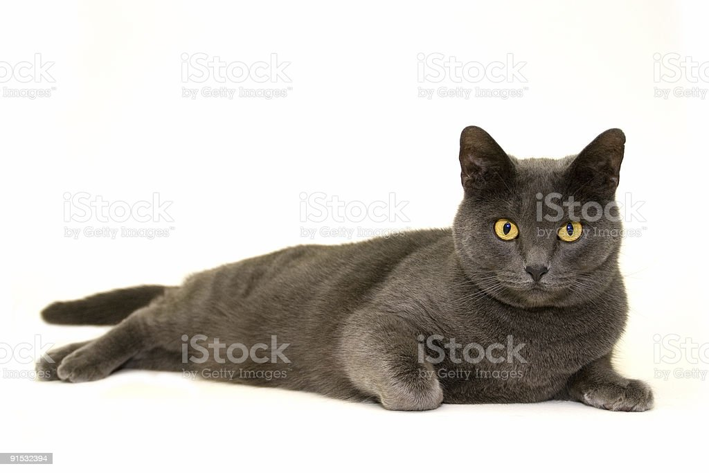 Regal Feline royalty-free stock photo
