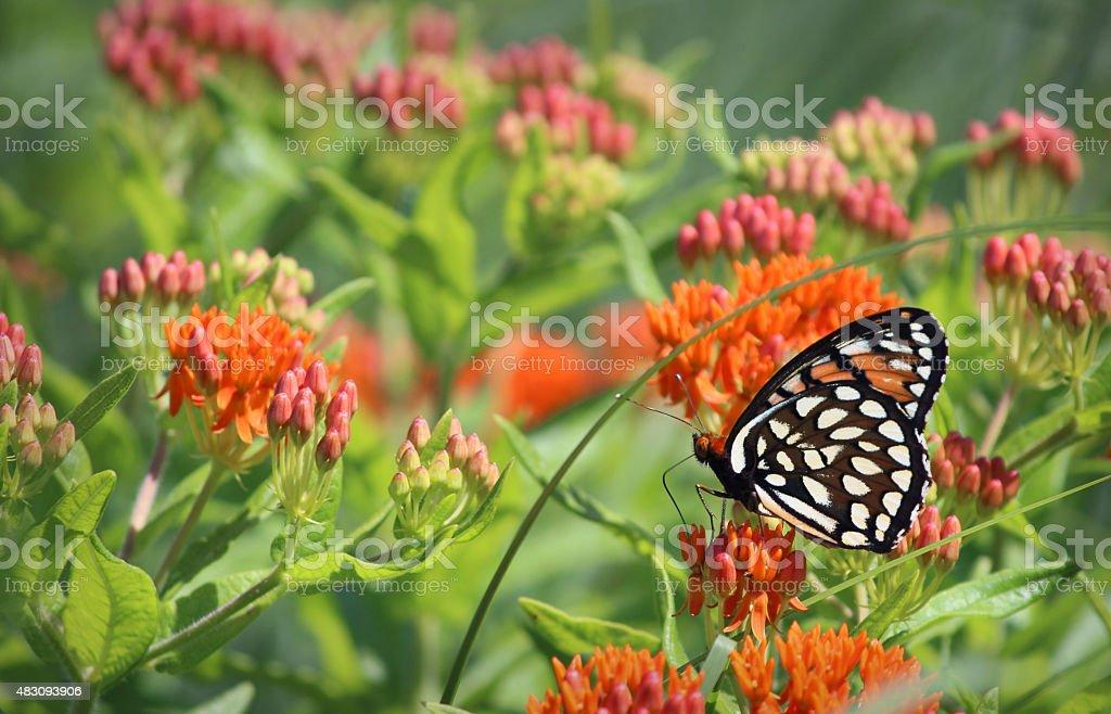 Regal Fritillary Butterfly on Orange Butterfly Milkweed Flower stock photo