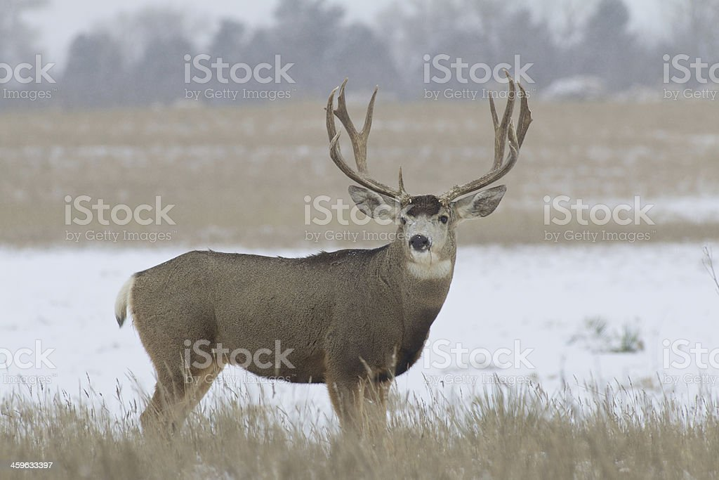 Regal Mule Deer Buck stock photo