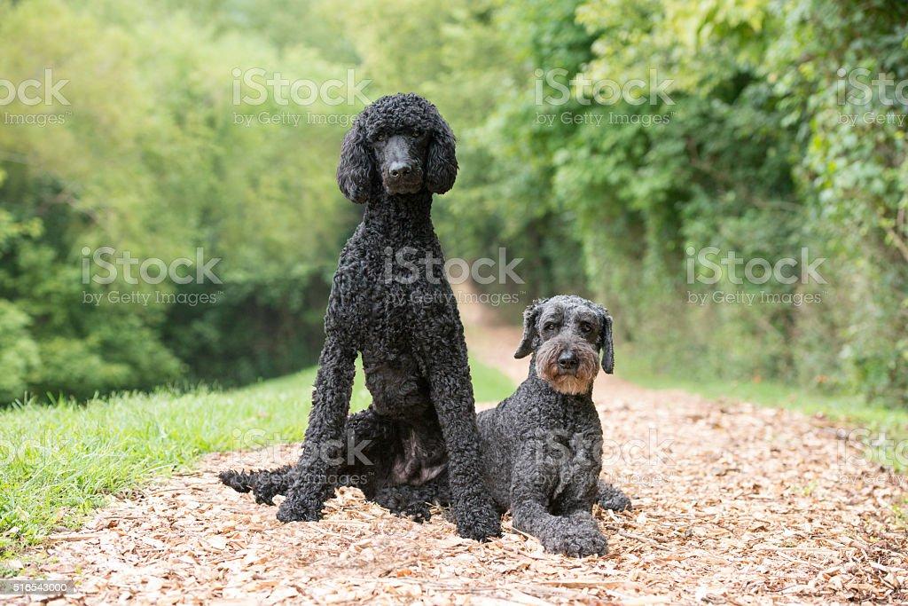 Regal Poodles stock photo