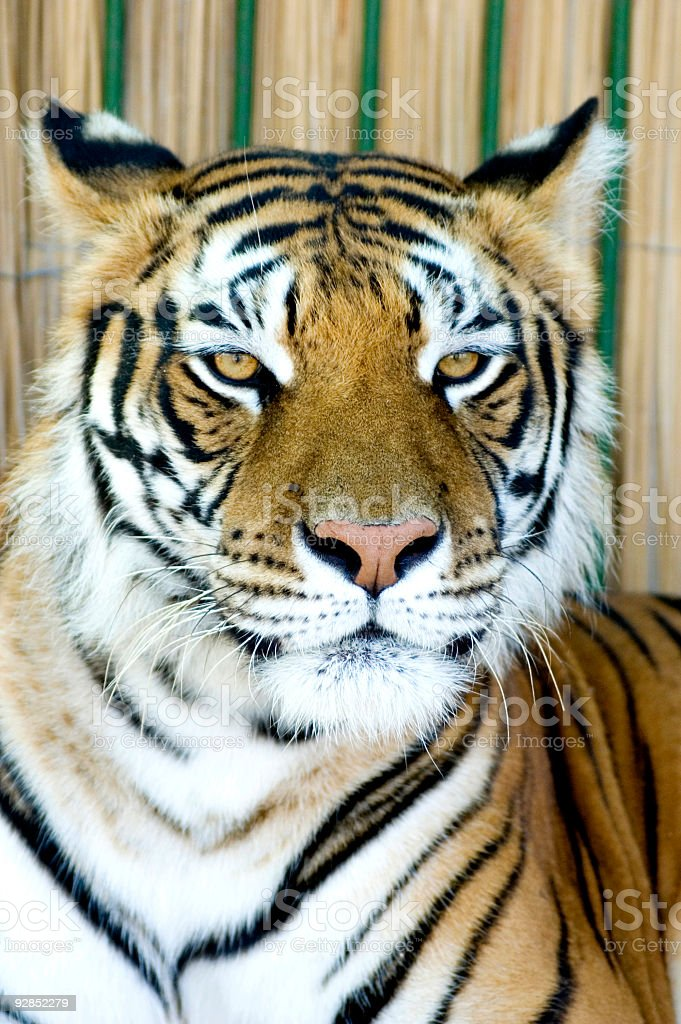 Regal Tiger royalty-free stock photo