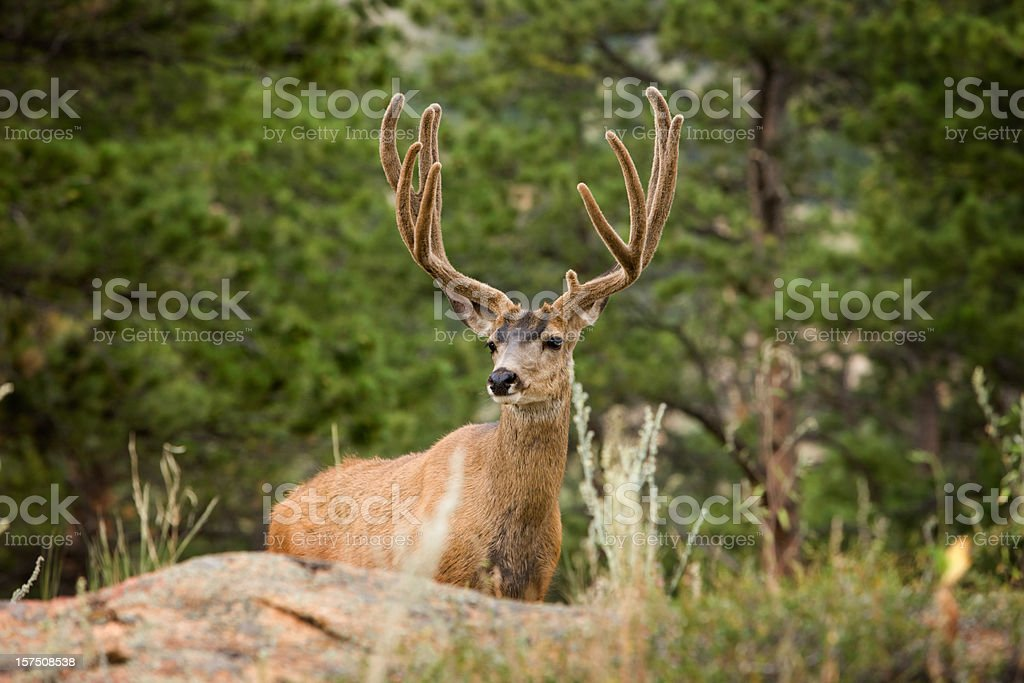 Regal wild mule deer in Rocky Mtn. Nat'l Park. stock photo