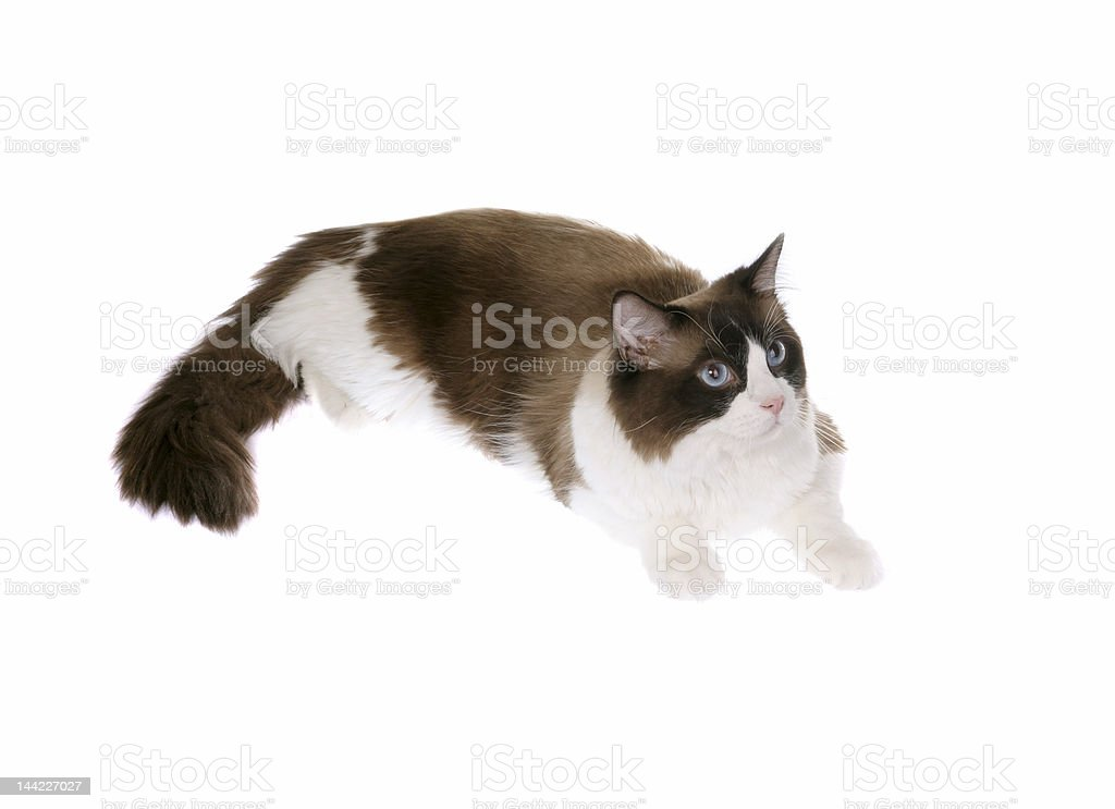 regdoll cat stock photo