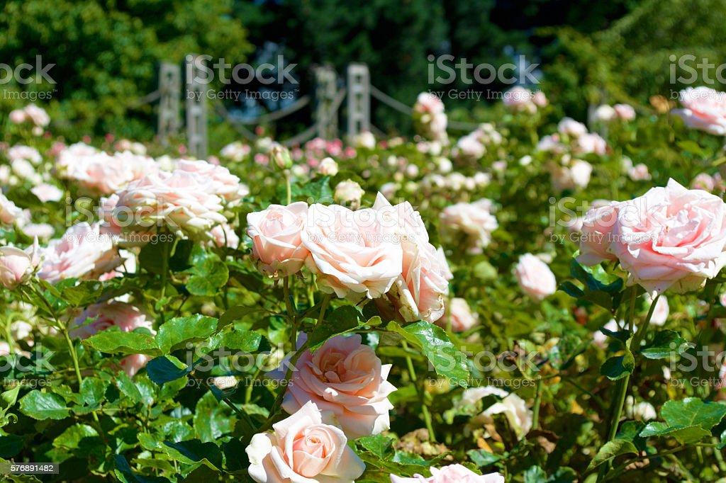 Regent's Park Rose Garden stock photo