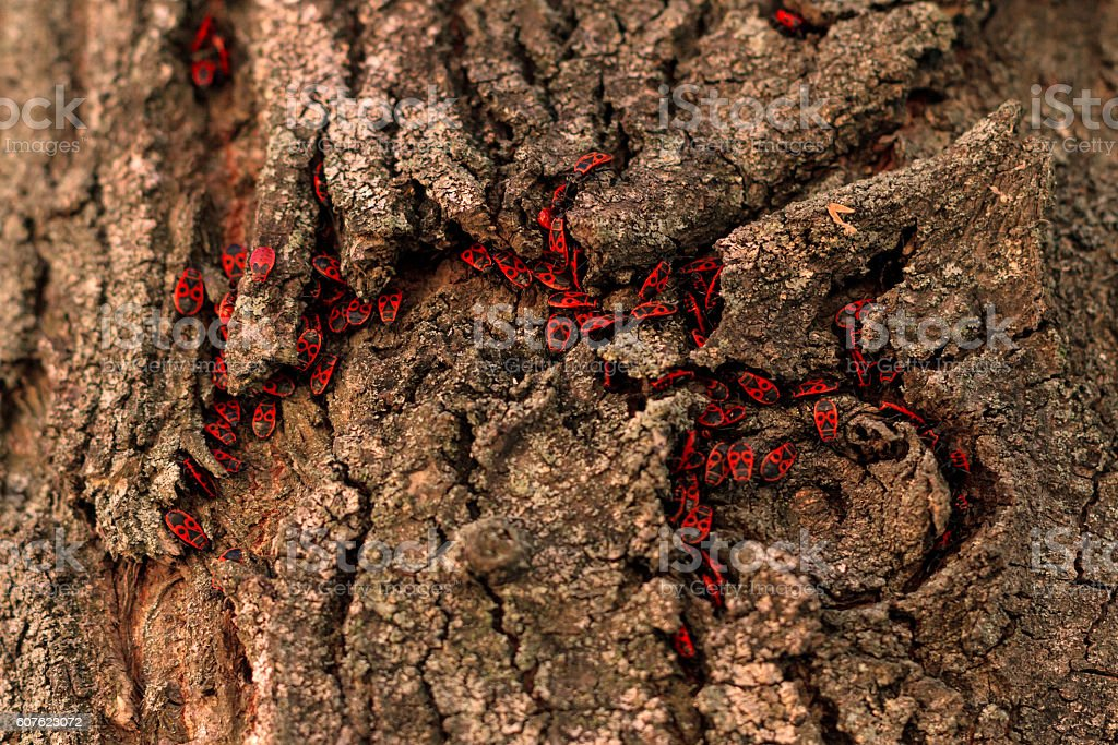 Regiment of firebugs in bark stock photo