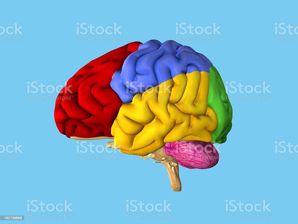Regions of the brain. stock photo