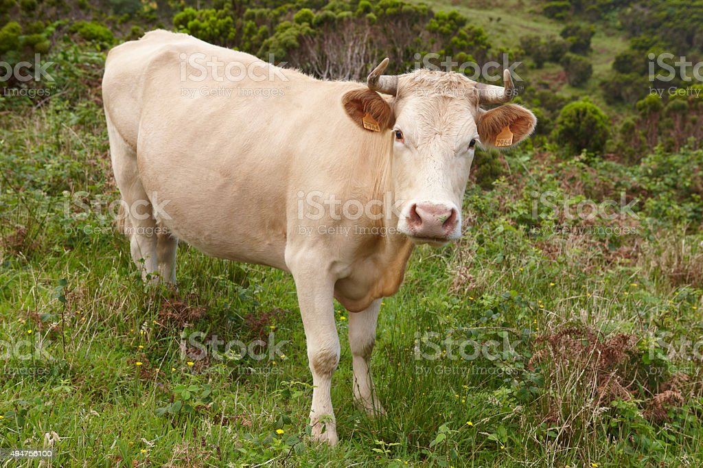 Registered cow on the countryside in Flores island. Azores, Port stock photo