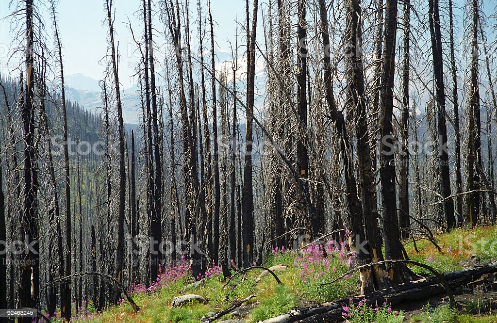 Regrowth After Fire royalty-free stock photo