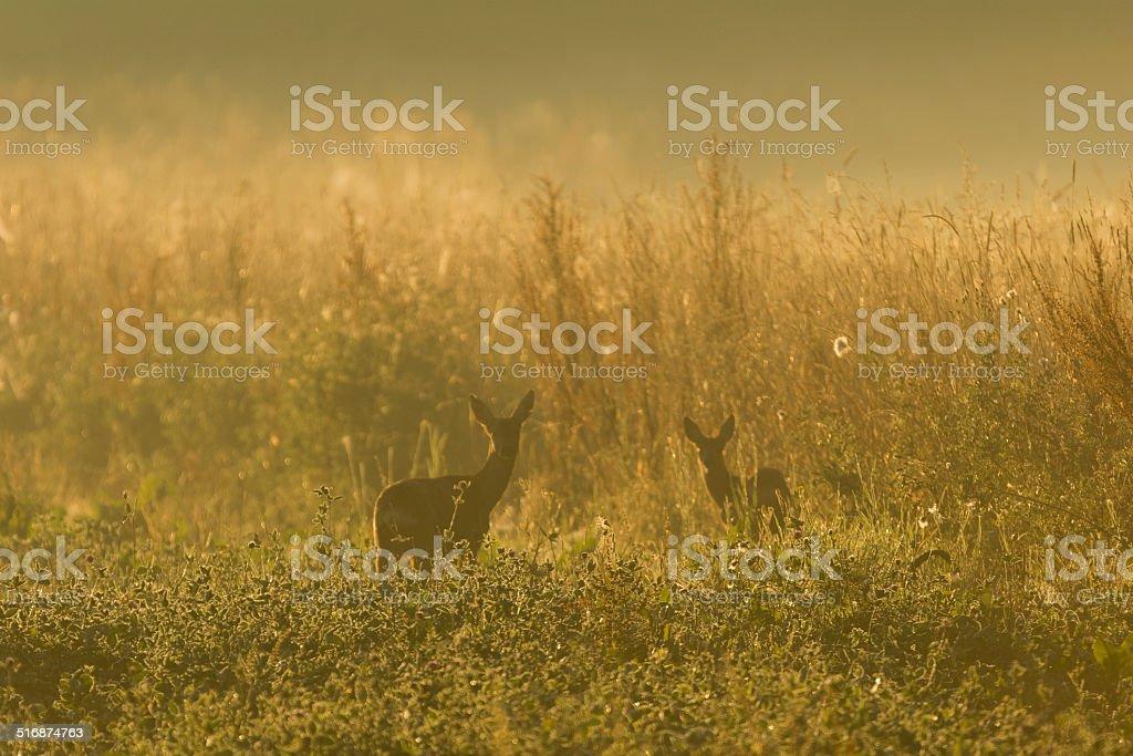 Rehe im Morgendunst stock photo