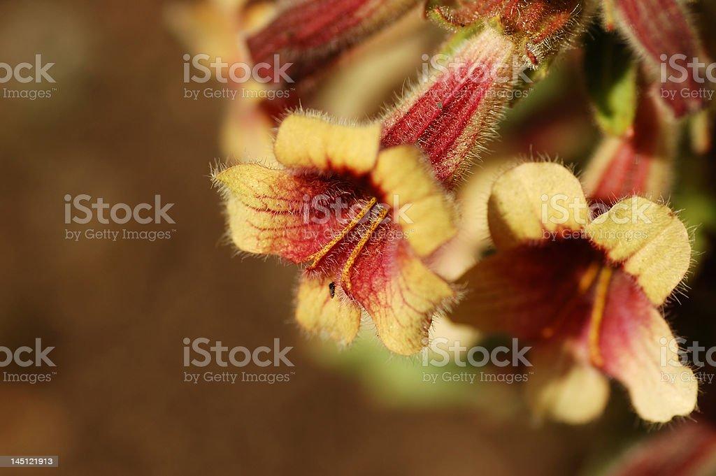 rehmannia glutinosa flowers stock photo