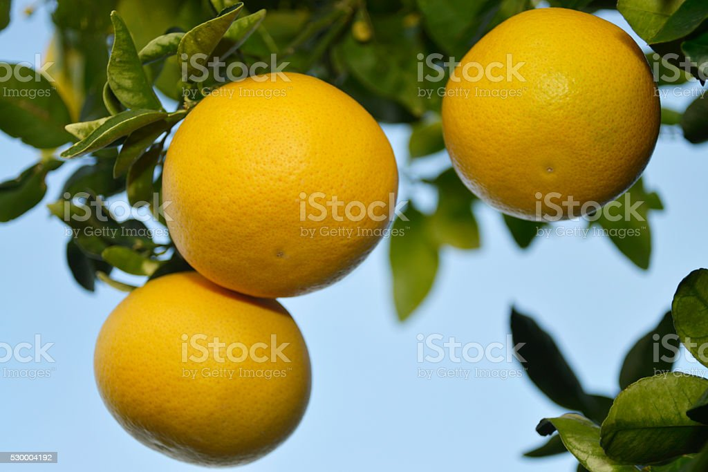 reife Grapefruit am Baum stock photo