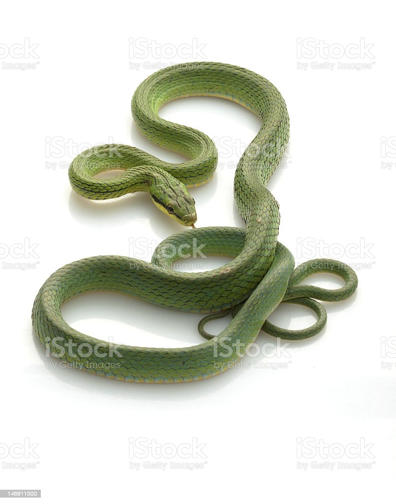 Rein Snake stock photo