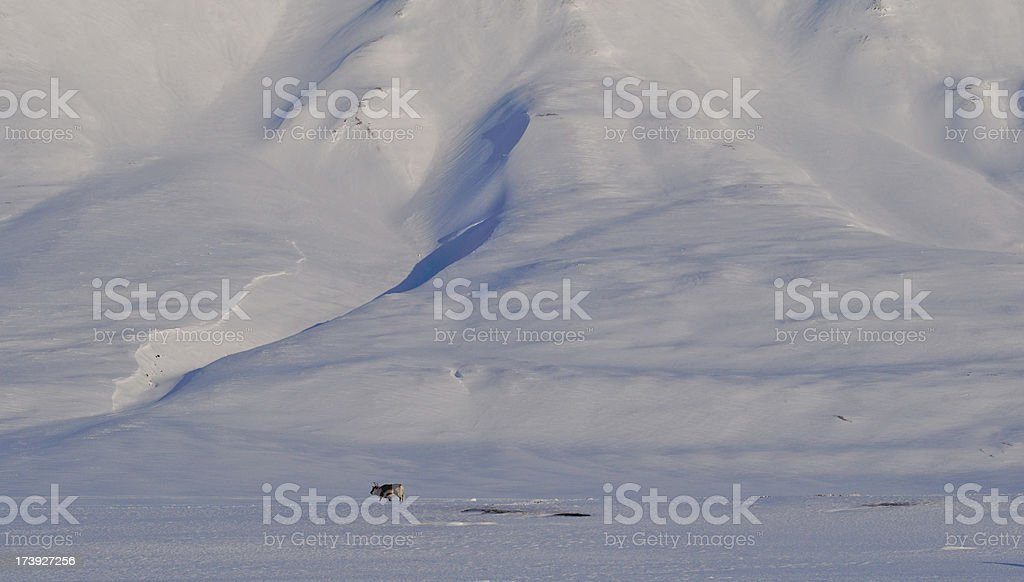 Reindeer against Backdrop of Snow Mountains in Spitzbergen, Norway stock photo