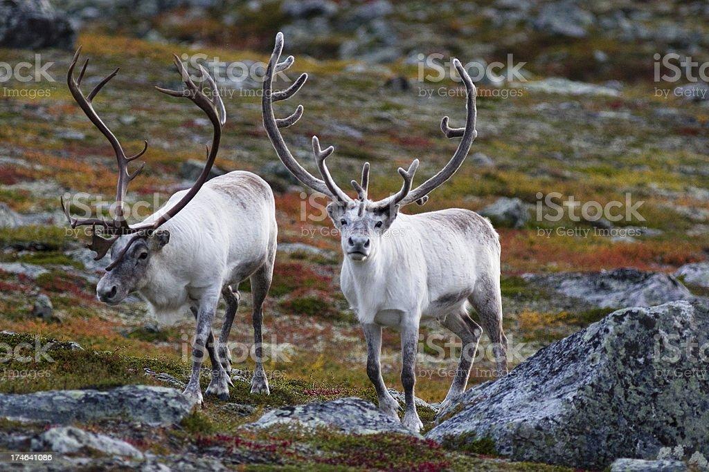 Reindeer Antlers royalty-free stock photo