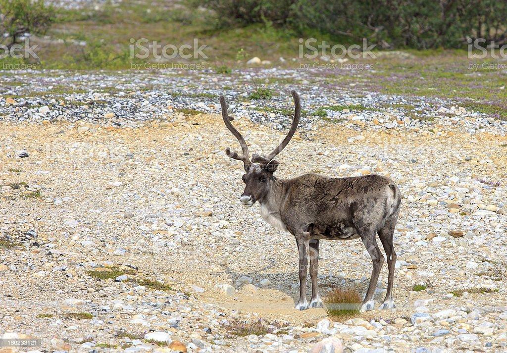 Reindeer graze on the tundra stock photo