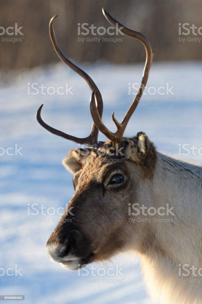 Reindeer grazing in the snow during winter in Northern Norway stock photo