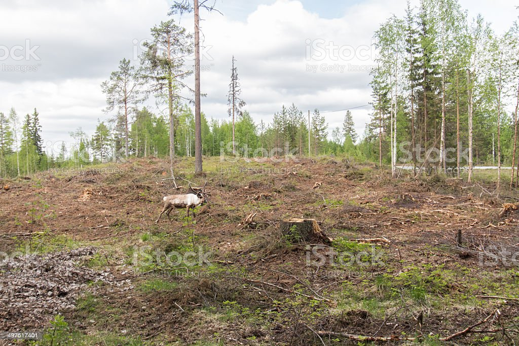 Reindeer in a deforestation area grazes royalty-free stock photo